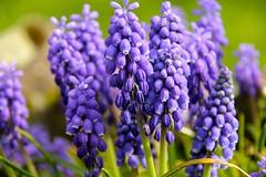 Blauwe druifjes (Muscari botryoides) (ToJoLa) Tags: canon canoneos60d voorjaar lente spring zuidlimburg limburg zon wandeling ontrack kleuren landschap landscape uitzicht bloem blauwedruifjes flower muscaribotryoides