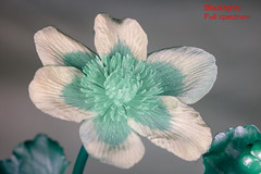 Caltha palustris (Herman1705) Tags: calthapalustris dotterbloem rodagon rodenstock 80mm a500 fullspectrum blacklight