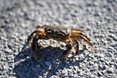 crab (ΞSSΞ®®Ξ) Tags: ξssξ®®ξ pentax k5 smcpentaxm50mmf17 road countryside summer italy outdoor crab freshwatercrab granchio potamonfluviatile
