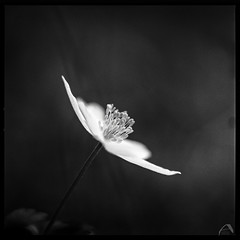 To the human love found in the darkness in Stockholm 2017-04-07 (ShimmeringGrains) Tags: vitsippa square vårblomma hasselblad503cx scannad mediumformat 6x6 vit woodanemone vår blomma macro scanned natur summer 120film blackandwhite mellanformat film hasselblad kvadrat kodakhc110149 ilford analog ilfordhp5 monochrome stockholm20170407 openstockholm humanlove humanloveandstrength togetherwearestrong light alightinthedarkness love loveconquersall humanlovefordemocracy togetherwearelove prayforstockholm zeiss zeissplanar8028 extensiontubes springflower whiteflower spring hopeandlove