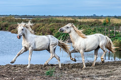 2016 Best Two Camargue Stallions (8) (maskirovka77) Tags: saintlaurentdaigouze languedocroussillonmidipyrén france languedocroussillonmidipyrénées fr stallion stallions createaway