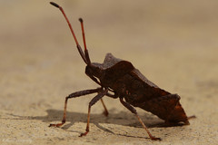 Shield Bug (RyanMorris_Photography) Tags: elements insect macro closeup macrophotography bug creepycrawly canonphotography canon canon100mm canonprimelens animal