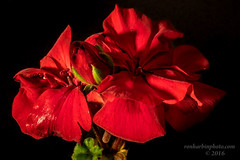 ...The Blooms Bursting in Air... (Ron Harbin Photography) Tags: begonia bud red bloom spring fresh flower