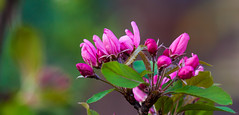 Almost there (Steve-h) Tags: garden springflowers 19317 nature natura natural naturaleza buds crabapple leaves depthoffield dof bokeh colour colours pink magenta purple green grey brown dublin ireland europe spring march 2017 pretty steveh flower tree