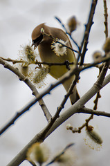 "Waxwings (Kristin ""Shoe"" Shoemaker) Tags: bird nature waxwing cedar pussywillow spring avian"