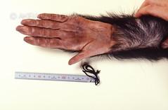ZOO0069 (Akira Uchiyama) Tags: 動物たちのいろいろ 手 手チンパンジー