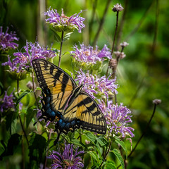 Feed the Beast (Portraying Life, LLC) Tags: michigan unitedstates butterfly meadow feeding wild flower handheld nativelighting