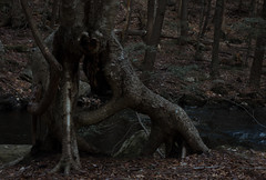 Ent quarterback, Royalston, MA (koperajoe) Tags: northquabbin tree woods fairie westernmassachusetts tolkien forestcreatures ent nature twistytree anthroporphism
