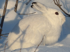 Mountain Hare, Arctic Hare  (Lepus timidus) skogshare 2 (grynetvalp) Tags: hare coth5 ngc npc contactgroups ruby5