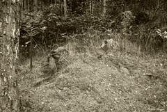 Remains of an old cottage (DameBoudicca) Tags: sweden sverige schweden suecia suède svezia スウェーデン ruins ruin ruiner ruine ruinas rovine 廃墟 backstuga järed häggelid tree träd baum albero árbol arbre 木