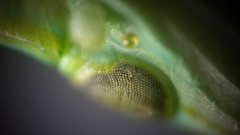 Grass hopper under Microscope (Spacetime Web) Tags: crickets grass hopper microscope diy spacetimeweb cheap wings biology spicimens insects entomology entomologist compound eye microscopy smartphone