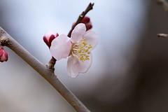 Plum (Ichigo Miyama) Tags: ウメ plum prunusmume バラ科 rosaceae サクラ属 prunus 梅 春 spring flower plant