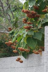 變黃枯萎卻依然成串的花 (Bryan Shan@) Tags: sony a55 pentax supermulticoatedtakumar11885 supermulticoated takumar 85mm f18 plant flower 花