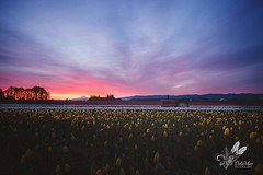 Sunrise over the Fields (tabitha.mort) Tags: tulips easter morning sunrise early earlymorning pink purple hot air tractor photography pnw portland wooden shoe