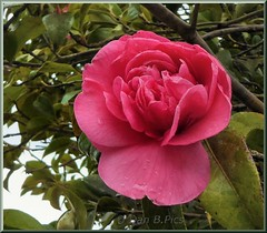 Camellia--var. Anticipation (Dan B. Pics.) Tags: garden shrubs flowering spring blooms gems camellias pink anticipation