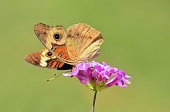 Common Buckeye Butterfly (deanrr) Tags: butterfly butterflyonflower commonbuckeyebutterfly nature outdoor alabamanature greenbackground morgancountyalabama alabama 2017 spring flower lantana