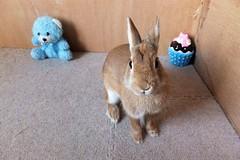 Ichigo san 624 (Ichigo Miyama) Tags: いちごさん。うさぎ rabbit bunny netherlanddwarf brown ichigo ネザーランドドワーフ ペット いちご うさぎ