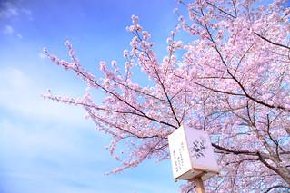 最近流行賞花