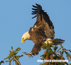 Bald Eagle landing at sunset NJ shore (Mike Black photography) Tags: bald eagle bird nature canon 5dsr 800mm lens birding big year nj new jersey shore mike black photo photography is usm l body white feathers raptor prey yellow sky trees