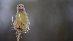 Harvest mouse (lisheeny) Tags: harvest mouse british wildlife rodent