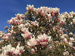 Magnolia In Bloom (Marc Sayce) Tags: magnolia tree lodge march spring 2017 forest alice holt hampshire wrecclesham farnham surrey south downs national park