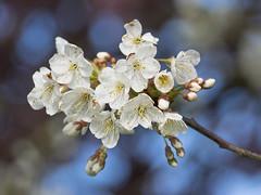 Bloesem (Geziena) Tags: bloesem bloem bloeien omdem1 40150mm boom natuur
