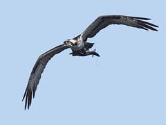 Osprey with Fish (Brian E Kushner) Tags: osprey pandionhaliaetus millvillenj millville new jersey birding bird union lake maurice river nikon d5 nikond5 nature water bkushner wildlife animals ©brianekushner nikonafsnikkor200500mmf56eedvrnikon afs nikkor 200500mm f56e ed vrtc14e iii tc14 flight flying