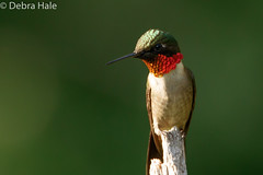 Rubby-throated hummingbird (debbiehale71724) Tags: birds humming nature wildlife