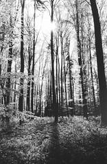 Scan 10 (doc-harvey) Tags: hwschlaefer docharvey 2017 analog analogue film scan from print contax t trix400 tx400 bw bwfp blackandwhite blancetnoir schwarzweis trees light darkroom allee alley