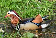 mandarin duck (boggled) Tags: mandarinduck nikond5500 richmond