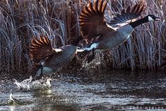 Take Flight (James Neeley) Tags: wildlife canadiangeese idaho marketlake jamesneeley