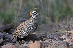 Montezuma Quail (Greg Lavaty Photography) Tags: montezumaquail cyrtonyxmontezumae texas april bird nature wildlife outdoors ftdavis davismountains quail