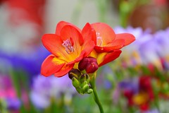 Freesia (Reed 1949) Tags: freesia flower spring gardenshop shoreline washingtonstate nikon nikond5200 tamrron18270mm