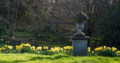 Bodysgallen Hall (alh1) Tags: bodysgallenhall historichouseshotels nationaltrust northwales cymru wales urn daffodils narcissi