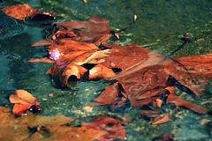 D71_6847z (A. Neto) Tags: d7100 nikon nikond7100 sigma sigmadc18250macrohsmos color leaves water nature autumn