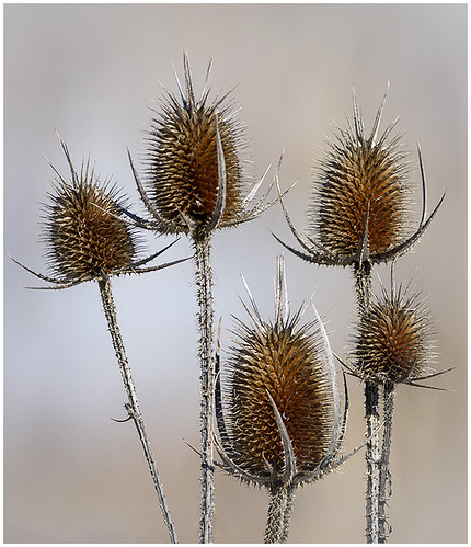 14-Dried Teasel