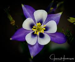Aquilegia Origami Blue and White (jhambright52) Tags: macroflowers macro columbine doublefantasy coth5