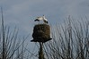 Störche sind auch nur Vögel - gemeinsames Klappern an der Kirche; Bergenhusen, Stapelholm (24)