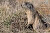 Jeune marmotte / young groundhog (Nicolas Rouffiac) Tags: marmot marmots marmotte marmottes animal animals animaux nature mignon cute
