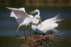 Impatience (gseloff) Tags: greategret nesting birds eggs wildlife smithoaksrookery highisland texas gseloff