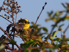 behind here (mark.griffin52) Tags: olympusem5 england hertfordshire beaconhill wildlife nature bird yellowhammer