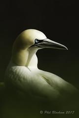 Gannet (Phil Bloxham) Tags: seabird sea stunning majestic gannet nature beak white coast sidelight
