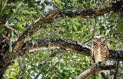 #owl #bird #Florianópolis #coruja #santacatarina #brazil #brasil (lelobnu) Tags: owl bird florianópolis coruja santacatarina brazil brasil