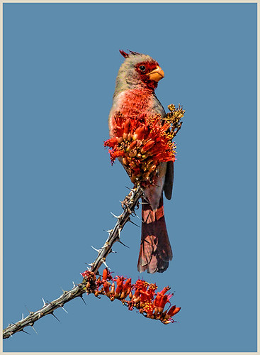 39-Pyrrhuloxia in the Desert