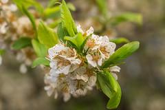 Lente 2017-4 (ronaldschilp) Tags: voorjaar lente almere bloesem