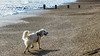 Charlie 49 weeks old (Mark Rainbird) Tags: bartononsea dog powershots100 canon retriever uk puppy charlie england unitedkingdom gb