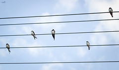 Little birds song (VandenBerge Photography (this week mostly absent)) Tags: barnswallow birds wire sky clouds composition canon nature