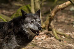 IMG_5546 (heguenter) Tags: natur 2017 ostern gangelt tierpark wisent wolf luchs vogel