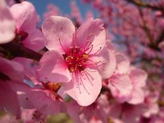 Pfirsichblüte (Jörg Paul Kaspari) Tags: wiltingen prunus persica prunuspersica pfirsich blüte flower rosa