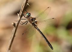 Uhler's Sundragon (Helocordulia uhleri) Male (Rezamink) Tags: helocorduliauhleri uhlerssundragon dragonflies odonata usa